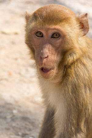 Portrait of the monkey with an amusing grimace