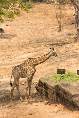 giraffa: A large giraffe bull (Giraffa camelopardalis), eating