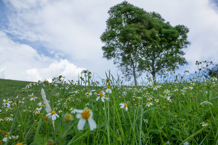 Green grass and white daisies  with  blue sky background in Thailand. photo