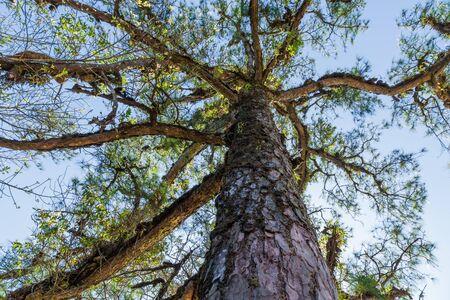 Detail of green Fir trees in summer time.