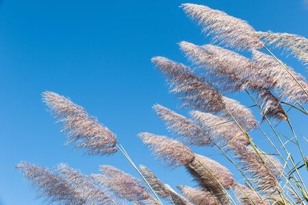 marsh plant: Blossoming cane on a background bright, dark blue, autumn, the sky. A beautiful marsh plant. Stock Photo