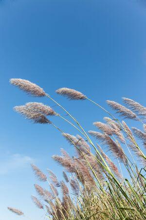 marsh plant: