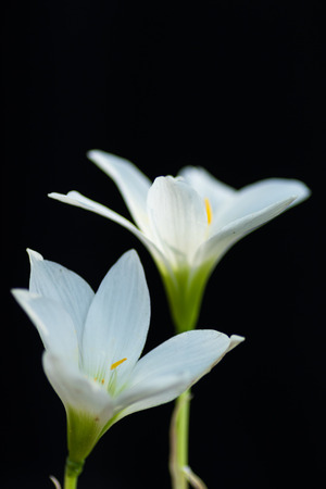 herald: Herald of Spring, Snowdrop flower Isolated on black background Stock Photo