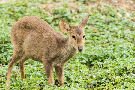 herbivore natural: baby red  antelope on green field grass