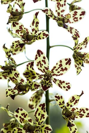 spotted flower: Oncidium Yellow brown Orchid flower in bloom in spring Stock Photo