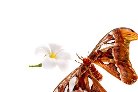 biggest animal: Biggest Moth  Atlas moth on isolated white background