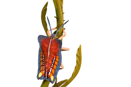 pentatomidae: back of wild fly hemiptera Nezara Viridula Heteroptera pentatomidae palomera prasina in the bush