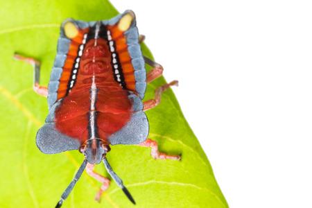 pentatomidae: front of wild fly hemiptera Nezara Viridula Heteroptera pentatomidae palomera prasina in the bush