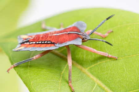 pentatomidae: side of wild fly hemiptera Nezara Viridula Heteroptera pentatomidae palomera prasina in the bush Stock Photo