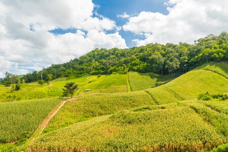 Fresh corn field over the mountain range and blue sky in Thailand.