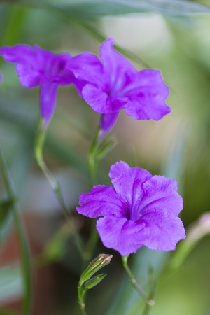 acanthaceae: Ruellia tuberosa or Minnie Root or Fever Root or Snapdragon Root in the garden