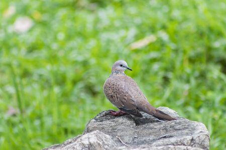 turtle dove: Cape turtle dove Streptopelia capicola perched on a rock