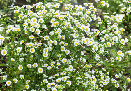 turf flowers: Background of a bouquet of white aster flowers