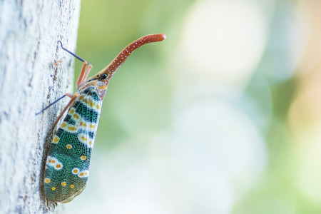 cicada bug: Pyrops candelaria on branch with nature background Stock Photo