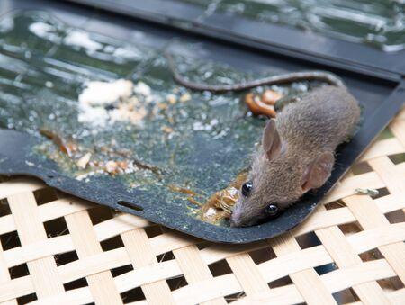 entrap: get rid of rats with rat glue trap