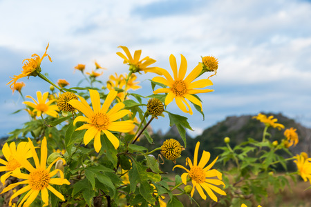 tree marigold: Maxican sunflower weed bua tong in thaind