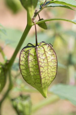 ground cherry: Pygmy ground cherry fruit or Physalis minima Linn. in nature Stock Photo