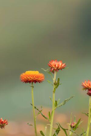 everlasting: Straw flower or Everlasting blossoming in Phuhinrongkla National Park  in  Phitsanulok, Thailand.