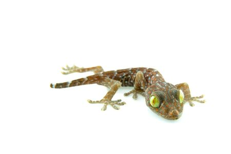 closeup of gecko in front of a white background Stock Photo