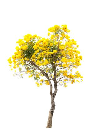 blossoming yellow flower tree: blossoming yellow flower and tree isolated on white background