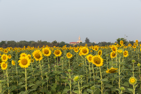 field of sunflowers blooming against a bright sky with Buddha statue background Stock Photo