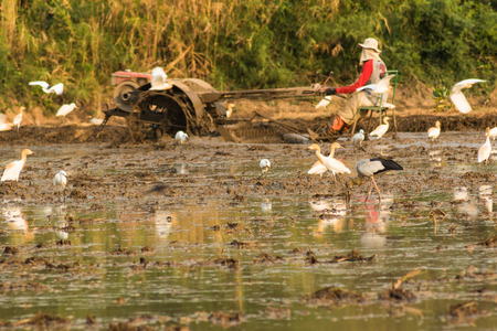 openbill: The Asian Openbill Stork (Anastomus Oscitans) in the stork family Ciconiidae. it waiting food on the tiller of the farmer for farming new rice. Phetchaburi, Thailand. Stock Photo