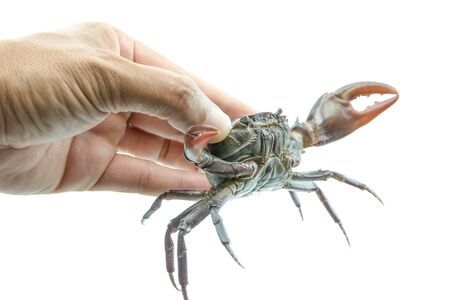 Catching Red field crab  by hand, it small crab many found in rice field canal and river.
