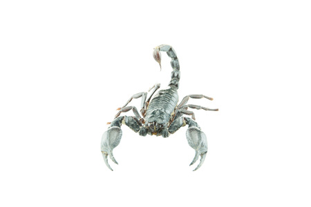 subdue: Scorpion Pandinus Imperator ready to strike, frontal view closeup, high resolution detailed image, isolated on white background