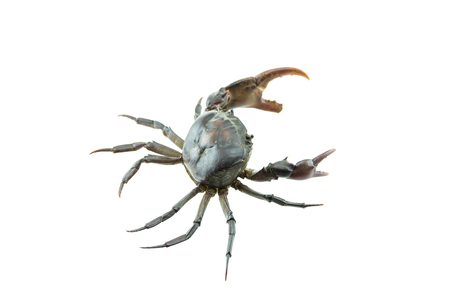 pincers: Red field crab, it small crab many found in rice field canal and river.