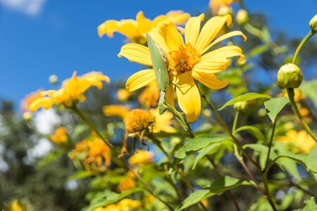 tree marigold: grasshopper on Beautiful yellow flowers in Thailand-Tree marigold