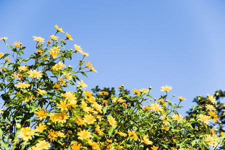 tree marigold: Beautiful yellow flowers in Thailand-Tree marigold