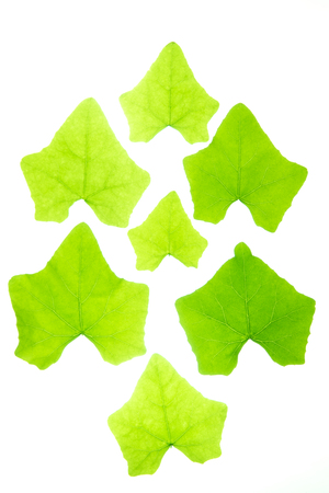 Gourd leaves or ivy gourd is an Asian vegetable showing leaf texture isolated