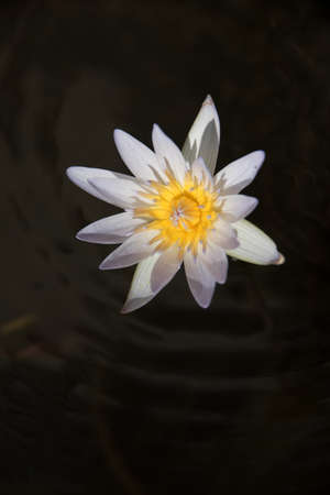 A beautiful whtie  waterlily or lotus flower in nature