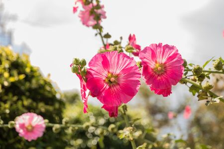 Alcea Rosea, a double form in red. Also comonly known as Hollyhock. Very shallow depth of field used on the main flower leaving everything else soft and dreamy.