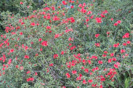 Red Rhododendron arboreum Flowering  growing in summer meadow in nature (Rhododendron arboreum) Stock Photo