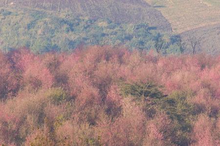 Himalayan Cherry (Prunus cerasoides) or Thai Cherry blooming at Phuhinrongkla National Park  Phitsanulok, Thailand.