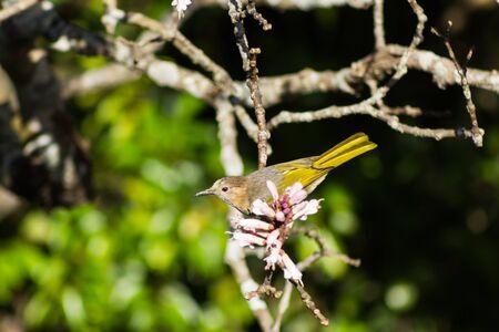 Small bird phylloscopus on wildflowers full bloom in nature on Phu Luang Wildlife Sanctuary