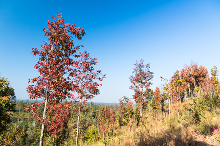 Multi-colored trees and autumn sun shining in the clear blue sky. A vivid and greatly varied display of fall foliage, Thailand