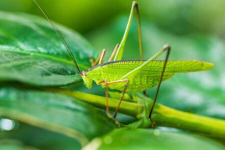 Grasshopper on green leaf  background Imagens