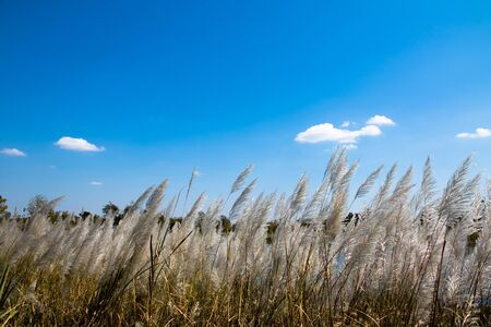 grayish  and reed plant isolated on white background. Wild grass on blue sky background 写真素材