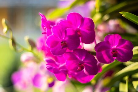 Vibrant purple and white Orchid flowers in a park in Loei,Thailand. 写真素材