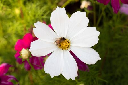 White flowers cosmos bloom beautifully to the morning light. 写真素材