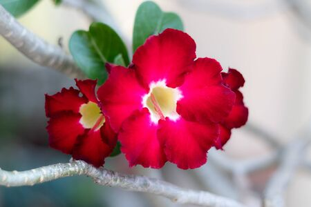 Azalea flowers (Adenium obesum,Desert rose, Mock Azalea, Pinkbignonia, Impala lily) are a colorful species of flowers.