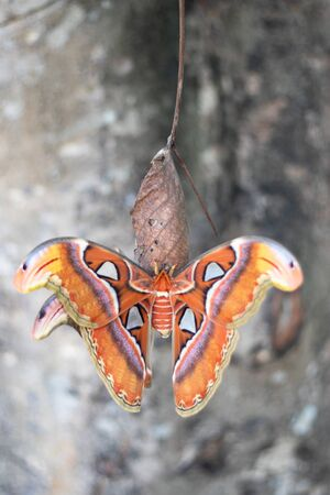 Beautiful big butterfly, Giant Atlas Moth, Attacus atlas, insect in nature habitat,Thailand, Asia