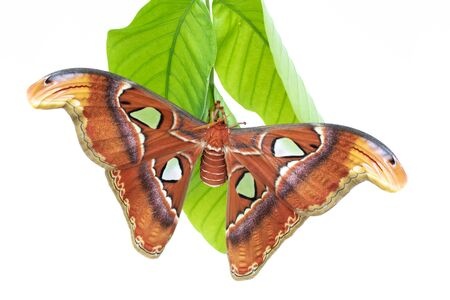 Macro Attacus Atlas, largest butterfly in the world, white background 写真素材 - 132032771