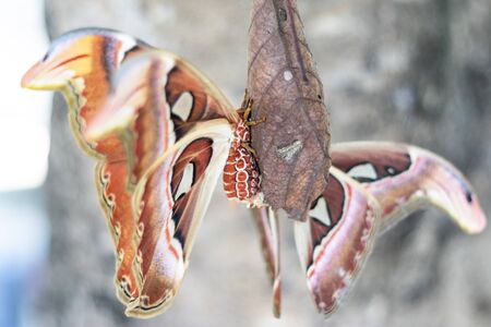 Beautiful big butterfly, Giant Atlas Moth, Attacus atlas, insect in nature habitat,Thailand, Asia 写真素材 - 132032393