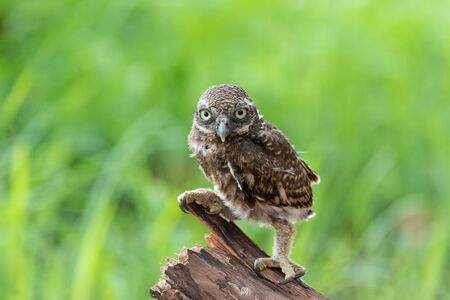 Burrowing owl (Athene cunicularia) standing on the tree branch, Loei Province, Thailand