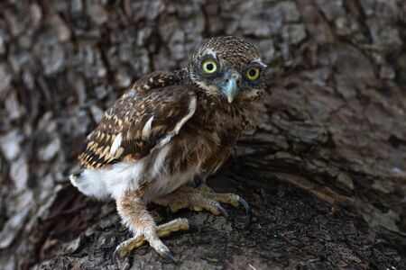 Burrowing owl (Athene cunicularia) standing on the tree, Loei Province, Thailand
