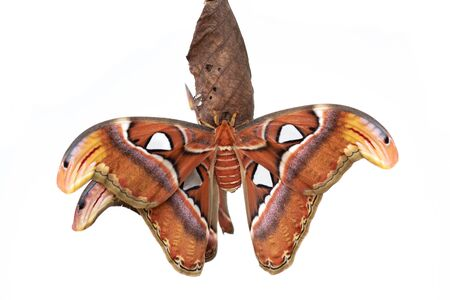 Macro Attacus Atlas, largest butterfly in the world, white background 写真素材 - 132033163