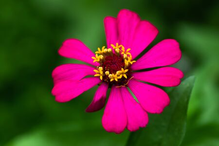 flower Zinnia They are native to the scrub of the Southwest United States to South America with a center of diversity in Mexico